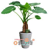 알로카시아(웰빙식물.축발전)