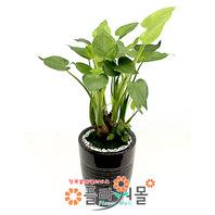 알로카시아(웰빙식물)