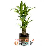 칼라행운목(웰빙식물)