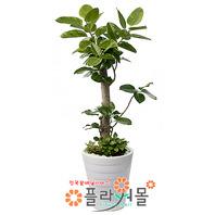뱅갈고무나무(웰빙식물)