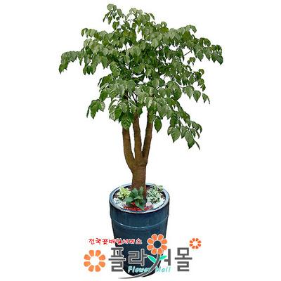 [당일수령]해피트리_(행복나무, 행복선물)_ 인테리어 화분 관엽식물 개업화분_ 전국 화분배달[플라워몰]