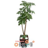 녹보수02(웰빙식물)