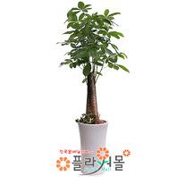 파키라02(대박나무)