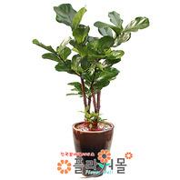 떡갈고무나무01(웰빙식물)