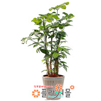 대엽홍콩02(웰빙식물)