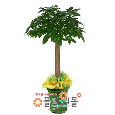 파키라(웰빙식물.대박나무)