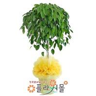 킹벤자민-a(웰빙식물)