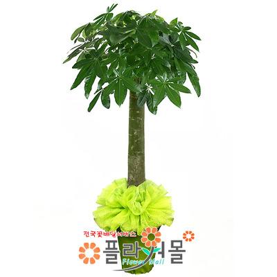 [당일배송]파키라(웰빙식물)_대박나무 인테리어화분 개업화분 공기정화식물_전국화분배달[플라워몰]