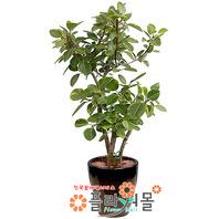 뱅갈고무나무01(웰빙식물)