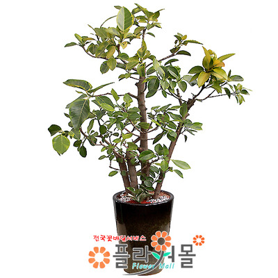 뱅갈고무나무02(웰빙식물)