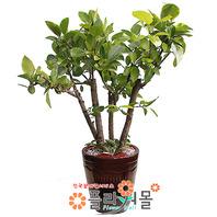 뱅갈고무나무03(웰빙식물)