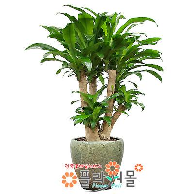 행운목괴목02(웰빙식물)