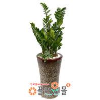 관엽식물★금전수(돈나무)★공기정화식물/개업/이전/전시회/꽃배달서비스[플라워몰]